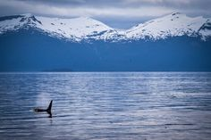 Oraca whales coming up for air in Alaska