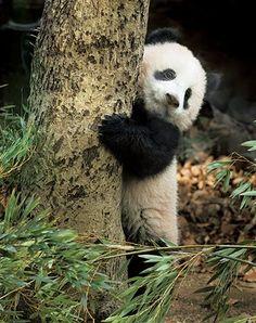 naten o bush tkam shuuum xhan gjum te omel ondrra tbukra tputh shuuuum ❤️ daculi e ime ti 🌏💖💋 Panda Bebe, Cute Panda, Cut Animals, Animals And Pets, Wild Animals, Baby Panda Bears, Baby Pandas, Red Pandas, Photo Panda