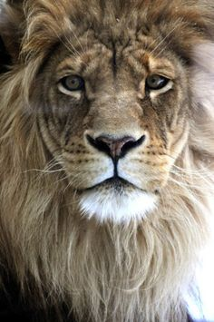 "My Bohemian Aesthetic ""God made the cat in order that man might have the pleasure of caressing the lion. Lion Photography, Wild Animals Photography, Lion Head Tattoos, Lion Tattoo, Beautiful Lion, Animals Beautiful, Zoo Animals, Cute Animals, Reggae Art"