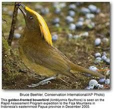 The Sanford's Bowerbird, Archboldia sanfordi is a black bowerbird with a reddish-brown iris, grey feet and black bill. The male has a golden crest extending from forehead, blackish wing and long tail. Both sexes are alike. The female is smaller with blue-grey feet and without crown feathering.