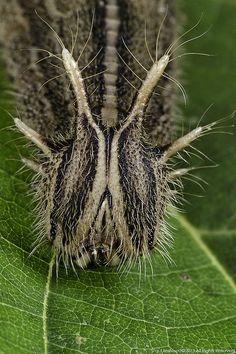 Owl Moth Caterpillar