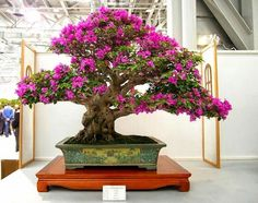 Bonsai Trees from Bouganvilla plants