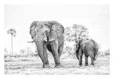 Elephant bulls feeding in a BW wildlife print by wildlife photographer Dave Hamman African Elephant, African Animals, Wildlife Photography, Animal Photography, The Great Migration, Charcoal Art, Wildlife Art, Pet Birds, Art Images