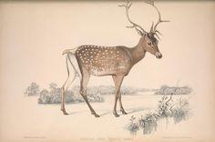 Persian Deer, cervus maral   ...
