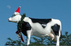 Een opgemaakte koe voor kerst #christmas #cow #farm #santa #claus