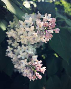 Because lilacs & dandelions 💜💛💜 Mobile Photography, Spring Photography, Photography Flowers, Love Is In The Air, Dandelions, Lilacs, Prague, Plants, Sunday