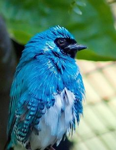 Swallow Tanager.