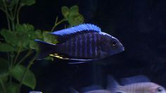 Blue Orchid – Aulonocara Kandeense   Tropical Fish Site