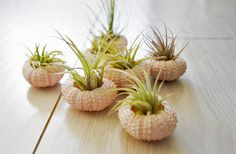 I ordered some air plants for my bathroom - now I need some urchin shells!