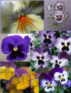 Precious pansies- one of my all time favorites- my Gram used to plant them every spring