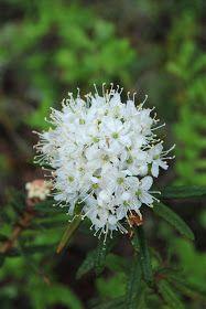 Rhododendron tomentosum