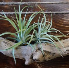 Air Plant Display Vermont Driftwood by carolynepowers on Etsy, $25.00