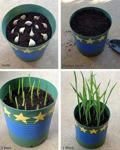 Grow garlic in a pot