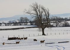 Sheep in the snow at Lovesome Hill Farm, Yorkshire.
