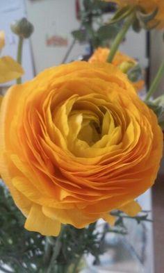 Ranúnculo, flor cortada sin filtros