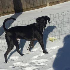#brunothedog #bruno #blackdogs #capturetoday #candid #candidshot #ilovemydog #snowcovered #rescuedog #gspmix #adoptadog #adogandhisyard #watchdog #dogsmakemehappy #dogs #dogsofinstagram #photooftheday #instalike #handsomedog #regaldog