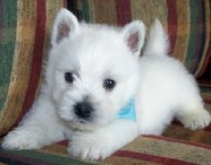 Westie puppies. They're so cute!