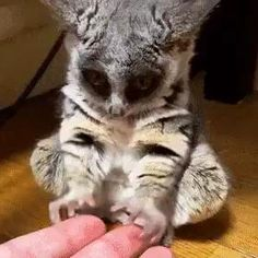 A very small bush baby yawn : aww Cute Little Animals, Cute Funny Animals, Cute Cats, Funny Owls, Adorable Baby Animals, Funny Cute, Big Cats, Cute Animal Videos, Cute Animal Pictures