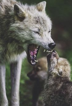 Listen To Mama This Is An Arctic Wolf Mother With Her Pups Photographed At Parc Omega Montebello Quebec Canada With A Nikon And A Nikon 600 Mm Lens