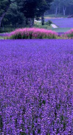 Purple flowers are a great way to add interest to your yard or landscape. See some of our favorite purple garden flowers! Lavender Blue, Lavender Fields, Lavender Flowers, Purple Flowers, Wild Flowers, Beautiful Flowers, Beautiful Places, Lavander, Field Of Flowers
