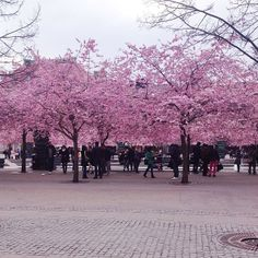 It's cherry blossom season in Stockholm, #Sweden. Photo courtesy of emilyelysem on Instagram.