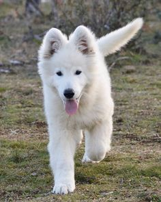 German Shepherd Colors, White Swiss Shepherd, Cute Dogs And Puppies, Pet Dogs, German Sheperd Dogs, Cutest Dog Ever, Dog List, Purebred Dogs, Schaefer