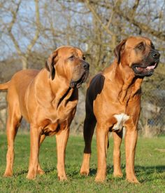 Tosa. Get a Free Consultation for your #large #dog #breed from our Friends at Nature's Select http://naturalpetfooddelivery.com/nsd/usa/free-consultation/
