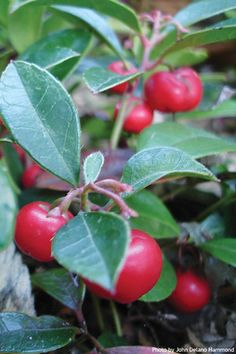 Do you want to live under the blueberries? I bet you do! Wintergreen (Gaultheria procumbens)