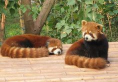 I want Red pandas on my porch                                                                                                                                                                                 Mehr