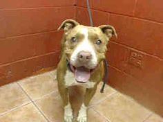No one wants a blind dog & a blind pit bull? Poor Louie doesn't have much of a chance at getting adopted. Someone kept him for 5 yrs, then cruelly abandoned him at a kill shelter. They didn't care! Downey Animal Care Center CA https://www.facebook.com/photo.php?fbid=943985945639639&set=p.943985945639639&type=1&theater