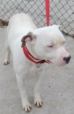 "GORGEOUS WHITE AMERICAN BULLDOG ""PRINCESS"" (cuddlebug) Found in Stark County OHIO.... NOW ADOPTABLE!!! Picked up as a stray on 3/19.  Available on 3/24.  What a beauty Princess is.  She is a shy girl, but coming around.  She enjoys being fussed over, and loved on by the volunteers.  Princess hopes her family is missing her.  She is a calm dog, a good..."