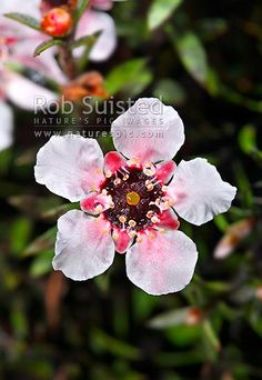 Source of Manuka Honey, New Zealand (NZ) stock photo. Quality New Zealand images by well known photographer Rob Suisted, Nature's Pic Images.