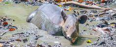 tapir soaking on the mud at the sirena ranger station - Costa Rica