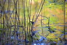 Ode to the River-reeds, water, blue wren Water Blue, Wren, River, Plants, Image, Plant, Rivers, Planets