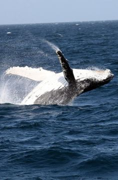 A mom and her calf near Bondi Beach. Whale watching in NSW, Australia. Whales can be spotted along the Australian coastline from the headlands, or via whale watching tours by boat or air.