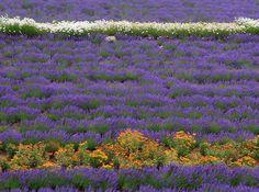 lavender field - Furano, Hokkaido