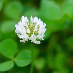 Trifolium repens or White Clover - Pollinators love this little plant! #flowers #flower #plant #gardening #gardens