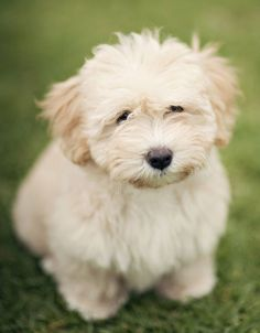 All About Havanese Puppy Names Havanese Puppies, Baby Puppies, Cute Puppies, Cute Dogs, Dogs And Puppies, Doggies, Puppy Mix, Puppy Drawing, Companion Dog