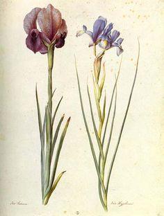 Jacopo Ligozzi  Mourning Iris (Iris susiana) and Spanish Iris (Iris xyphium)  gouache on paper  Gabinetto Disegni e Stampe degli Uffizi, Florence. See also: http://www.nga.gov/exhibitions/2002/slideshow/slide-163-5.shtm