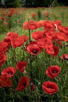 my personal flowers Little Flowers, Red Flowers, Beautiful Flowers, Belleza Natural, Red Poppies, Pansies, Flower Art, Flower Power, Paisajes