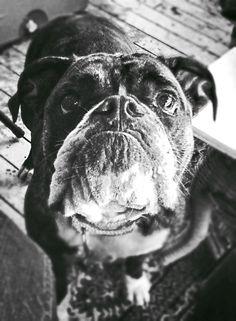 My Victorian Bulldog in black and white