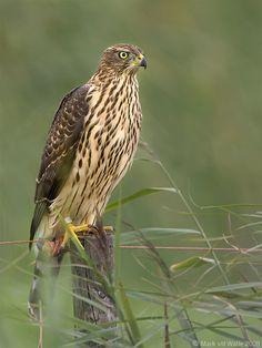 Havik - Accipiter gentilis