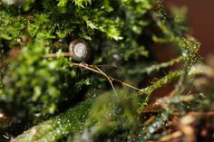 I spotted this very small snail on the moss that's growing around the Lepanthopsis astrophora 'Stalky', so I quickly removed the snail, and re-homed him outdoors. Pictured on the 3rd December 2016.