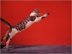Cat Leaping Photo by Gjon Mili