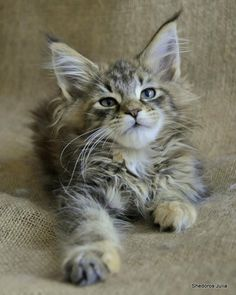 The Maine Coon kittens is just one of the biggest residential cat types. Big-boned as well as solidly muscled, it is not unusual to locate them at lbs. Pretty Cats, Beautiful Cats, Animals Beautiful, Cute Animals, Baby Animals, Funny Animals, Cute Kittens, Cats And Kittens, Ragdoll Kittens
