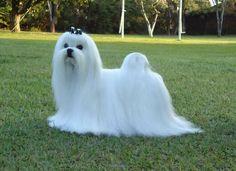 ::. SOBRACI - Sociedade Brasileira de Cinofilia Independente - Registro Pedigree Cães - Cachorro - Filhotes .::