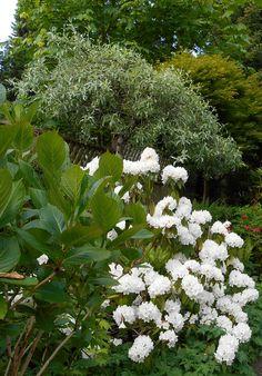 Rhododendron, pure white Gabriola.
