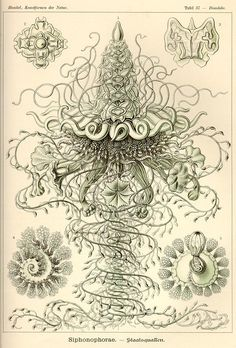 Ernst Haeckel Jellyfish Art Print, Haeckel Jellyfish Poster, Green Man-Of-War From Vintage Scientific Illustration, Educational Wall Art Psychedelic Design, Vintage Prints, Vintage Art, Antique Prints, Ernst Haeckel Art, Art Et Nature, Natural Form Art, Jellyfish Art, Jellyfish Images