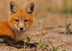 Red Fox...#19 by Blackcat Photography, via Flickr