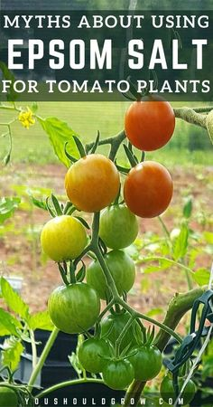 Growing Tomatoes Backyard vegetable gardening tips. Growing tomatoes: Common gardening myths about using Epsom salt for tomato plants. Let's sort out fact from fiction. Find out how using Epsom salt might actually be hindering your garden results. Growing Tomatoes From Seed, Growing Tomato Plants, Growing Tomatoes In Containers, Growing Veggies, How To Grow Tomatoes, Epsom Salt Tomato Plants, Epsom Salt For Tomatoes, Epsom Salt For Plants, Potted Tomato Plants
